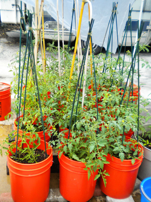 Tomato plants, mid July